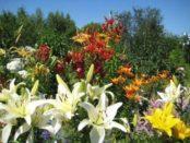 Лилии: выращивание и уход в открытом грунте. Фото и видео