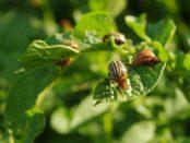 Действенные методы борьбы с колорадским жуком