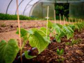 Чем подкармливать огурцы для богатого урожая