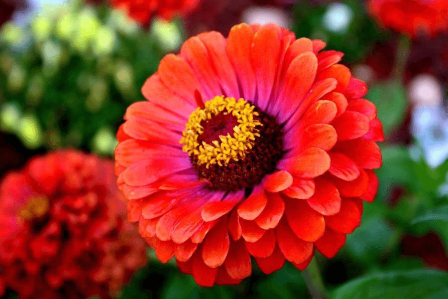 как вырастить цветы циния