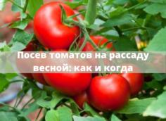 Посев семян томатов на рассаду весной 2021, благоприятные дни и правила на www.svoimi-rukamy.com