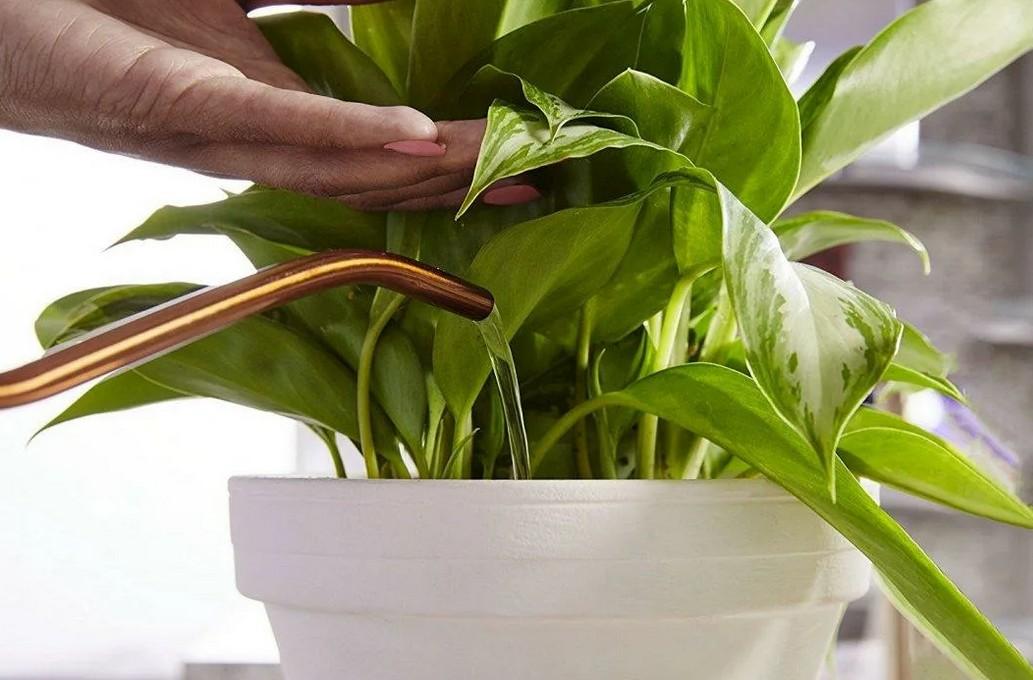 Диффенбахия: пять правил, чтобы вырастить здоровый цветок